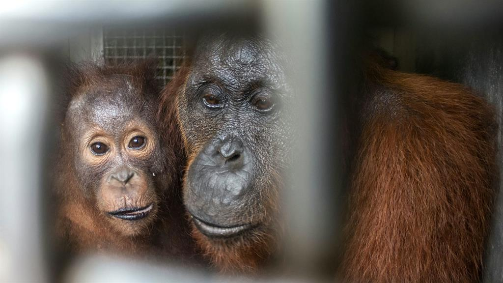 Mother and baby orangutan taken to safe new home