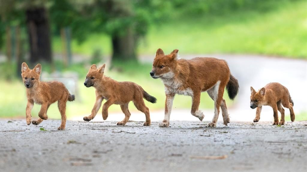 Walkies: Keepers at West Midland Safari Park are celebrating the arrival of three incredibly cute Asiatic wild dog pups PICTURES: SWNS