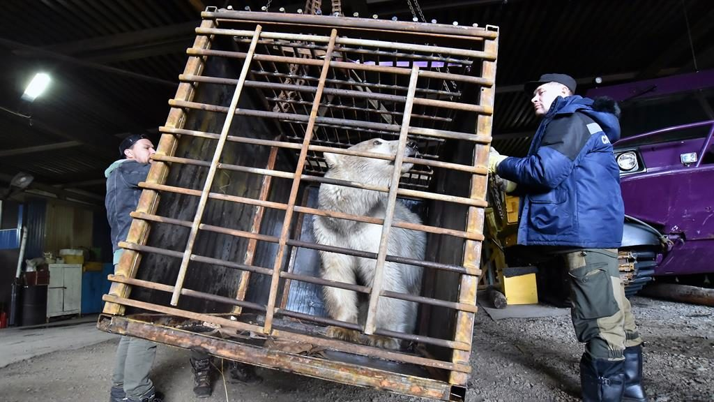 Safe now: A zoologist checks the polar bear before she is taken away for medical treatment PICTURE: GETTY