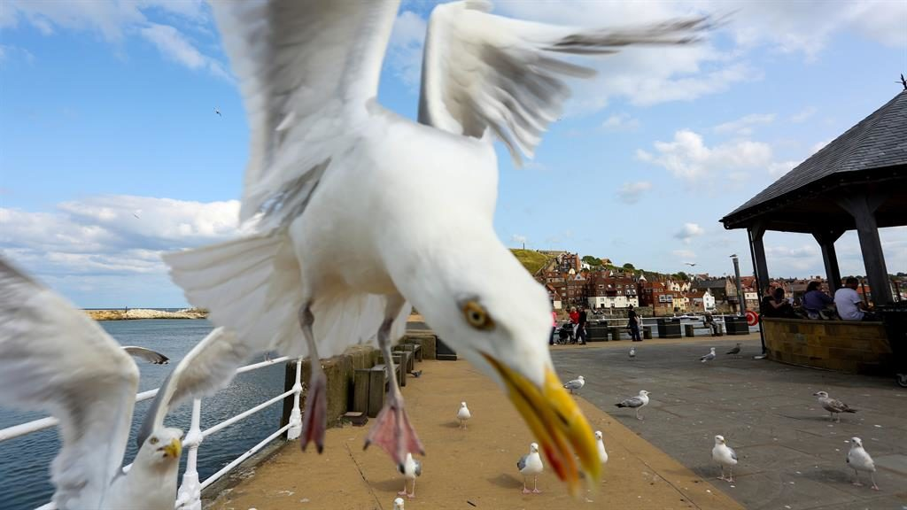 Angry birds: Two seagulls would try to attack Mr and Mrs Pickard every time they attempted to leave their holiday home