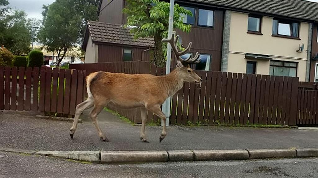Stag in Fort William