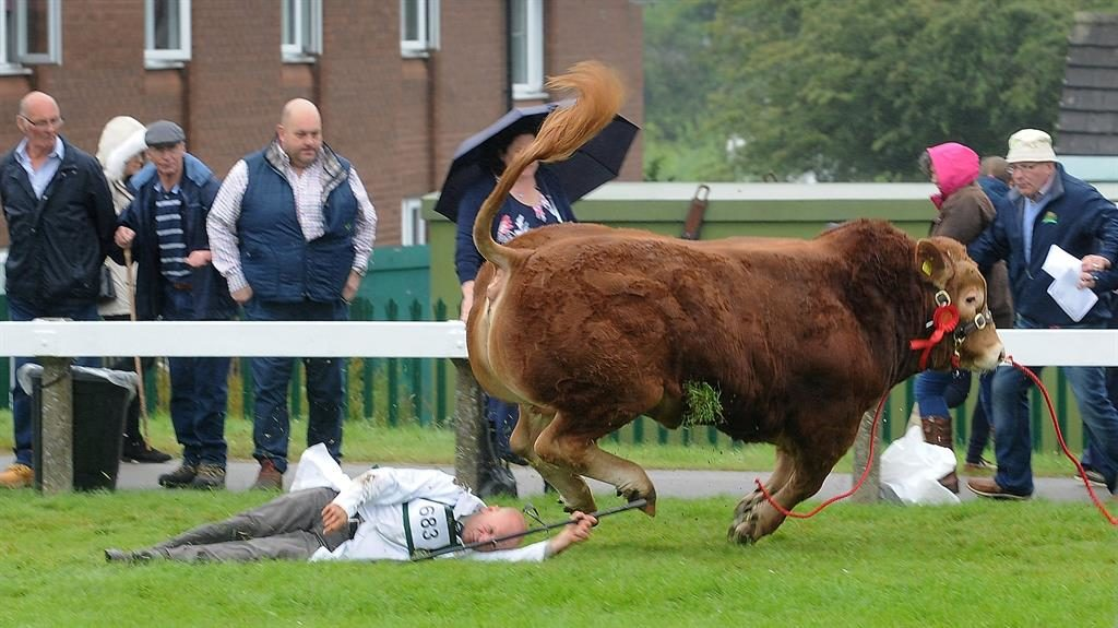Splatador: The spooked bull runs off leaving his handler on the ground as spectators look on PICTURE: YORKSHIRE EVENING POST/SWNS