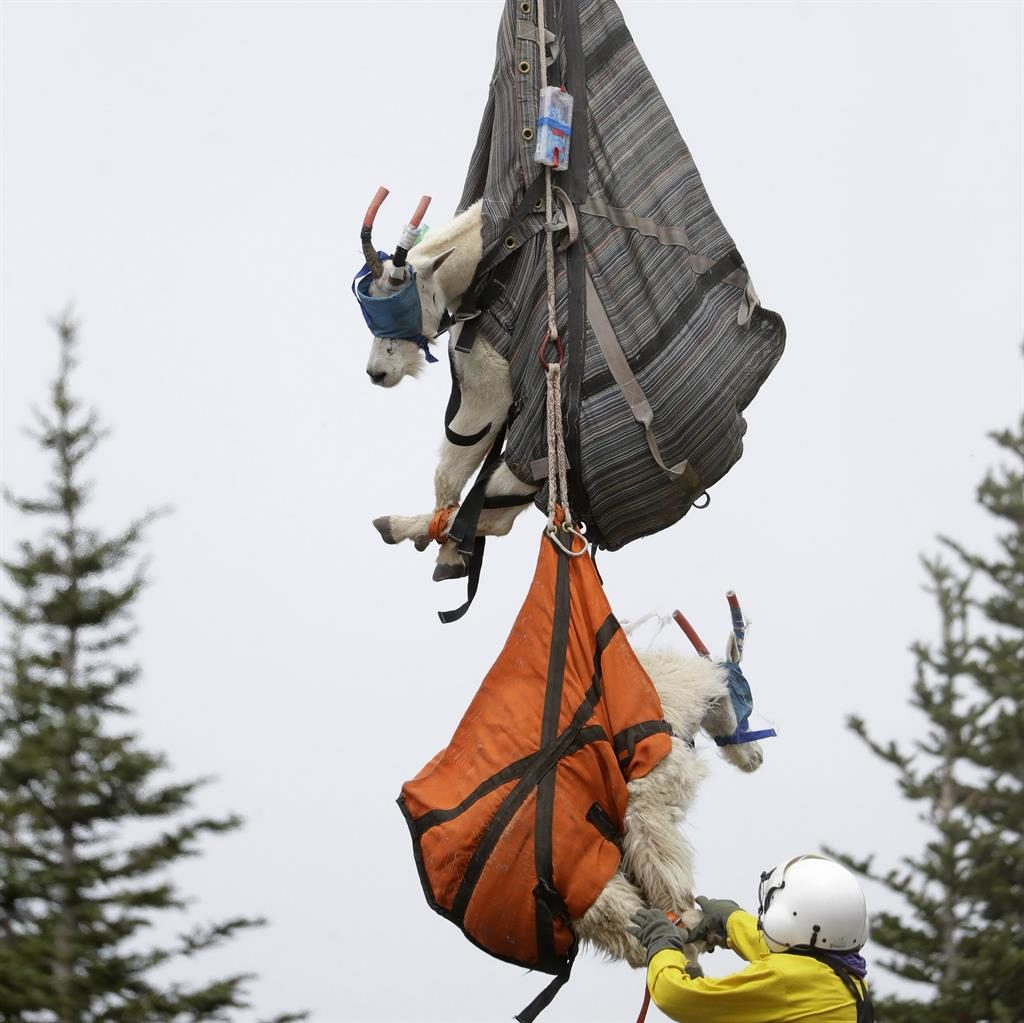 Do we look like silly billys? The sedated goats hang in slings from a helicopter on their way to the Cascade Mountains in Washington PICTURE: AP