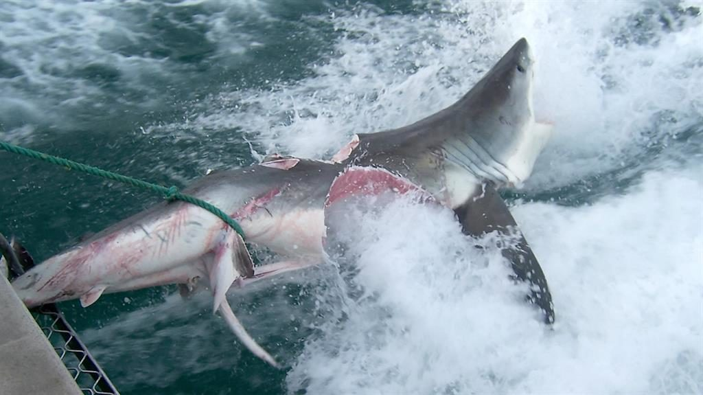 Jawsome: Shark was eaten by another great white PICTURE: SWNS