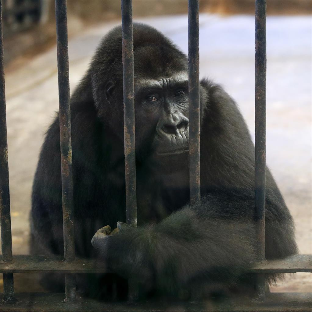 Gorilla kept in cage on seventh floor of a shopping mall for 27 years