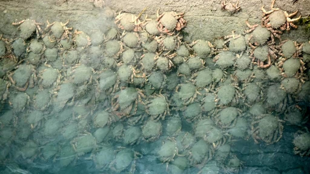 Clinging on: The crabs have attached themselves to a wall in shallow waters at King Point Marina, Plymouth PICTURES: SWNS