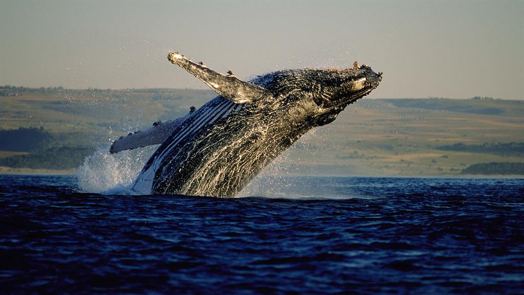 Escape: Whale-watching in South Africa!