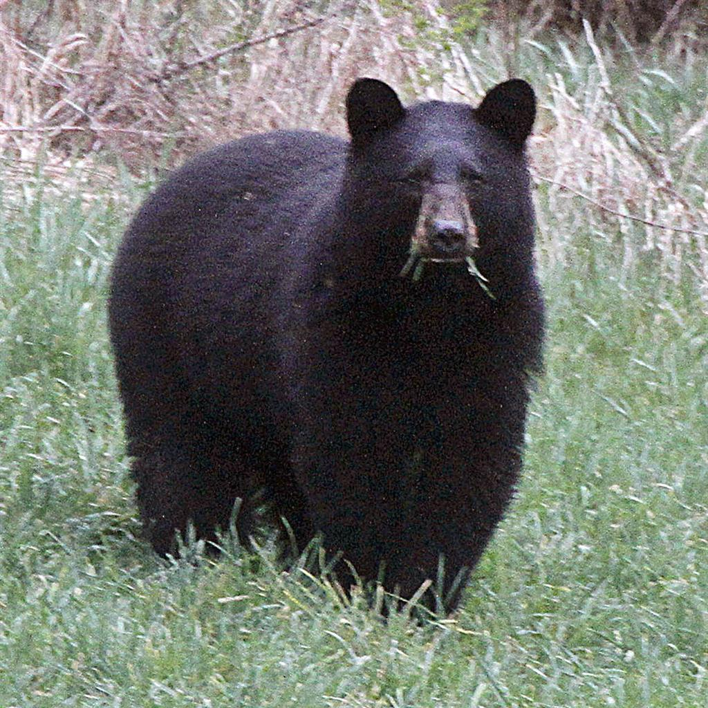 Minnesota woman killed by black bear on Canadian island