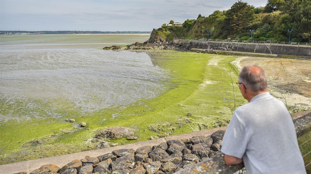 Green tide: The algae invades Valais Beach in Saint-Brieuc PICTURE: GETTY