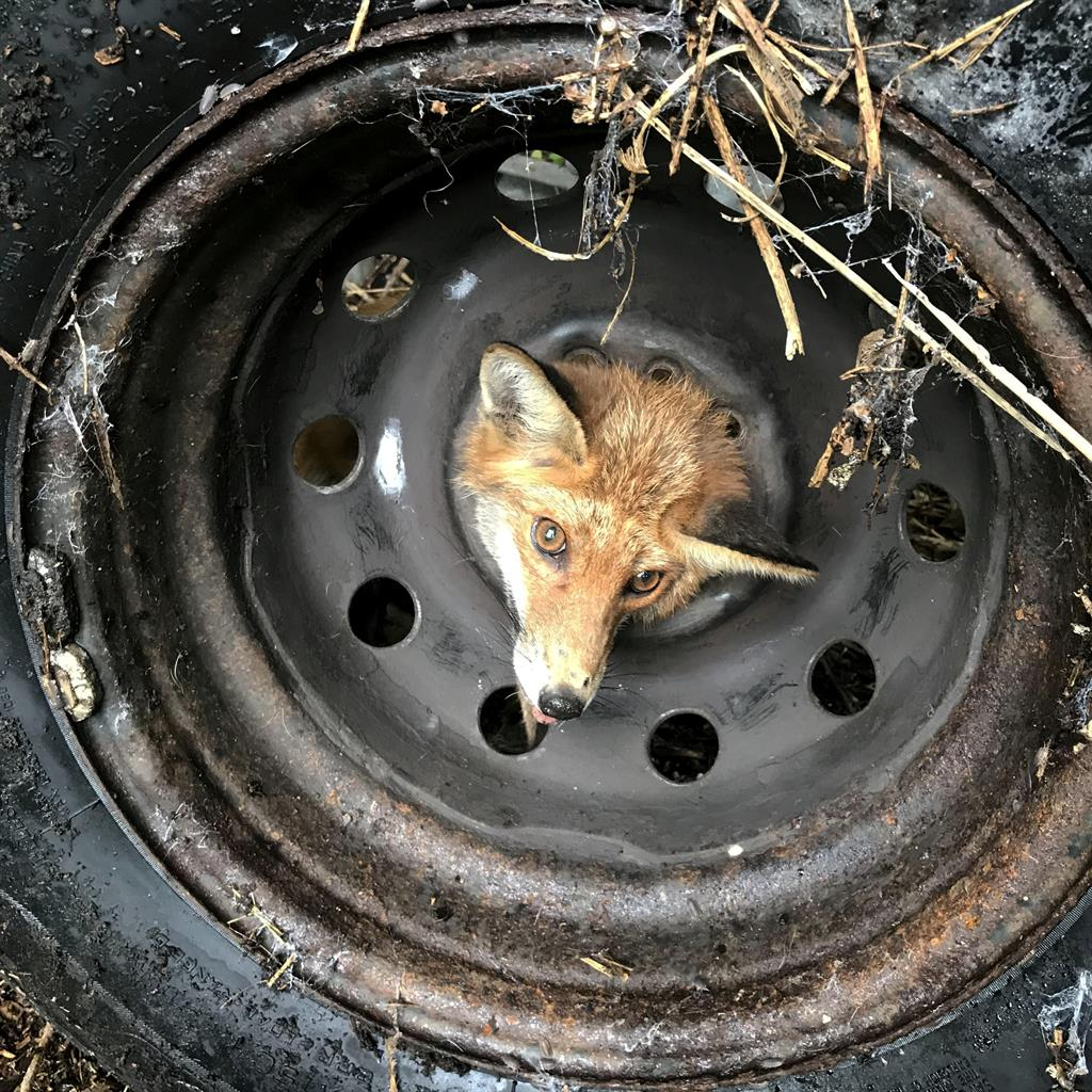 Peekaboo: The fox was thought to have been looking for scraps when his inquisitiveness got the better of him