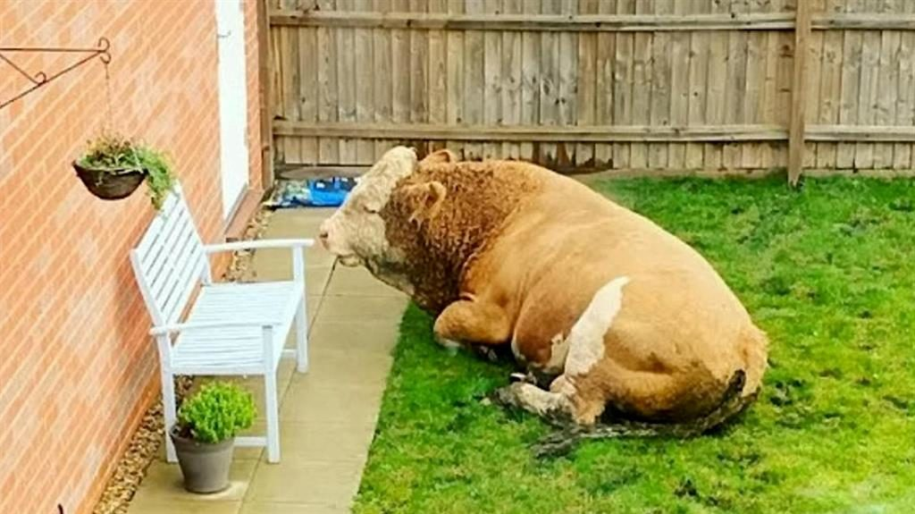 Bull dozing: Arnold has a rest in the garden PICTURES: SWNS