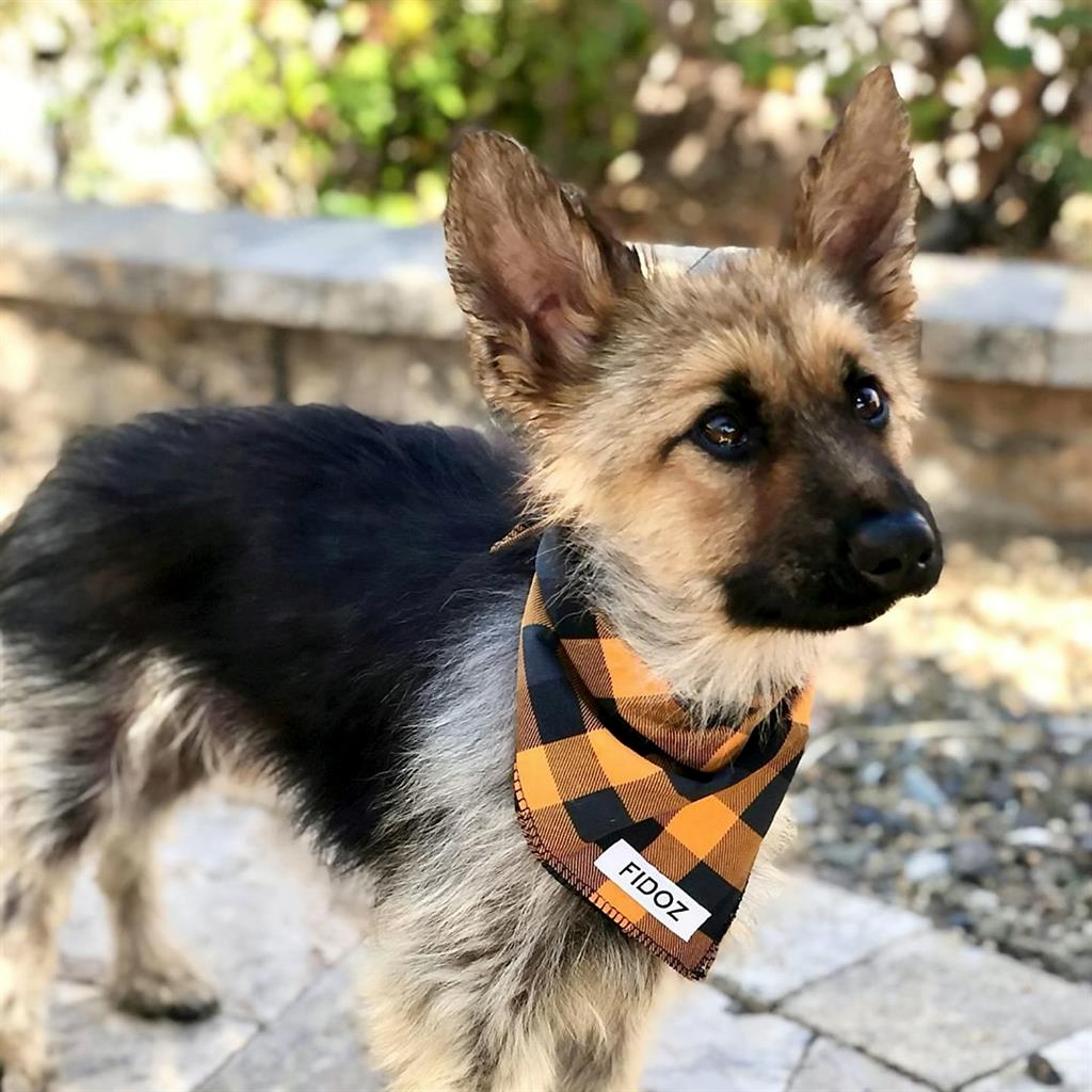 Two-Year-Old German Shepherd With Rare Condition Looks Like A Puppy