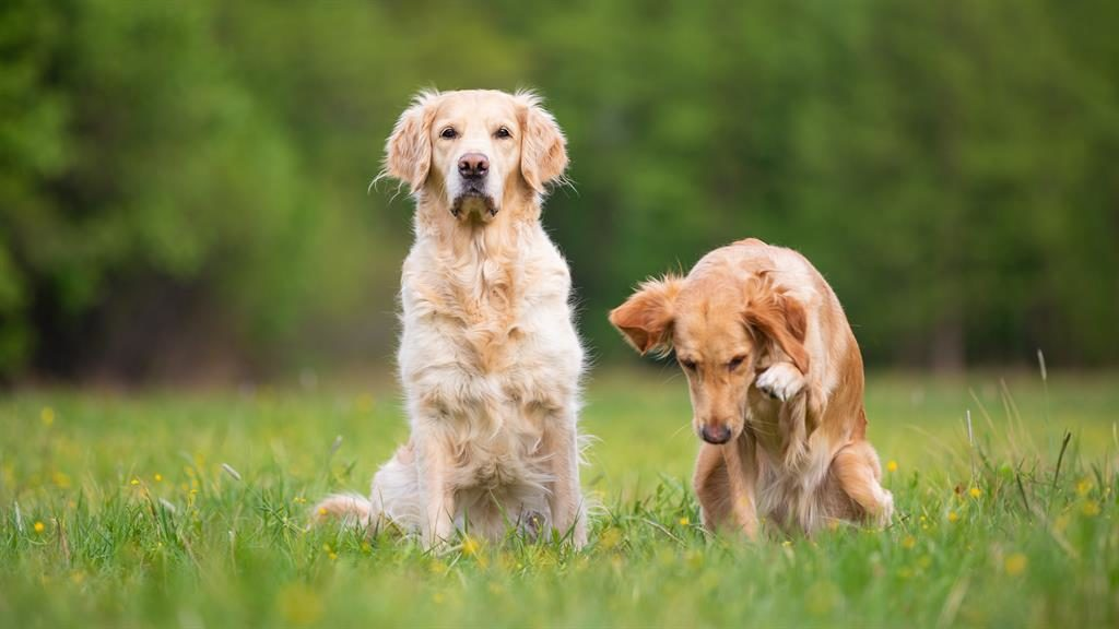 Dog day afternoons: Live-in housekeeper's main role will be to take care of two golden retrievers PICTURE: ALAMY