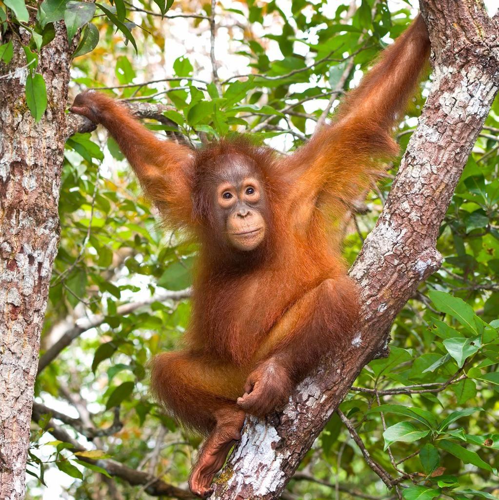 Palm oil threat: An orangutan PICTURE: ALAMY