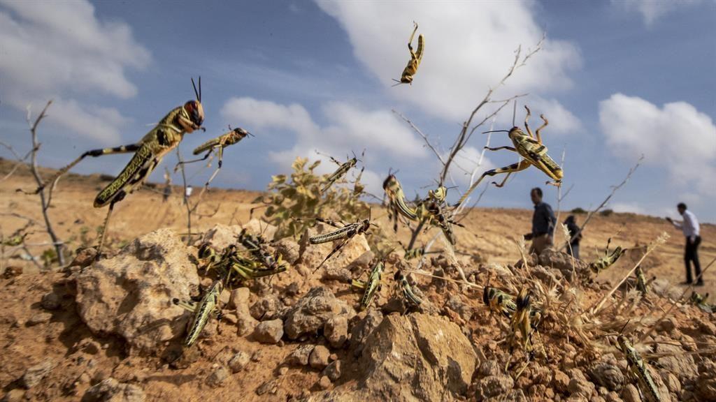 Devastation: Locusts in Somalia PICTURE: AP