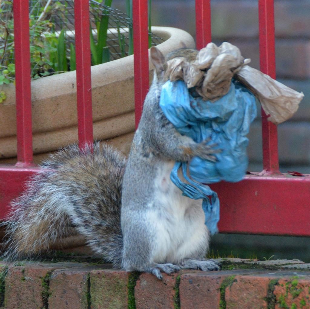 That will do: A squirrel with a plastic bag PICTURES: SWNS