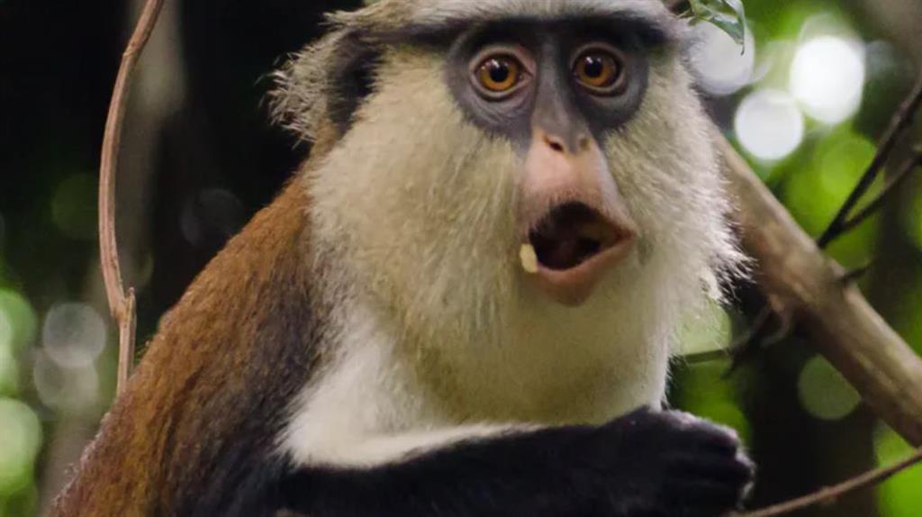 Mona monkeys: Among the many species often hunted for food PICTURE: NEJA HROVAT/SHUTTERSTOCK