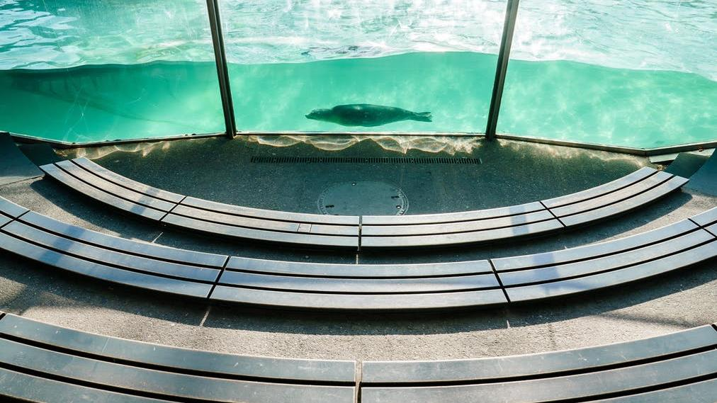 Lonely swim: A Californian sea lion behind empty seats in its tank at a Berlin zoo PICTURE: EPA-EFE/CLEMENS BILAN