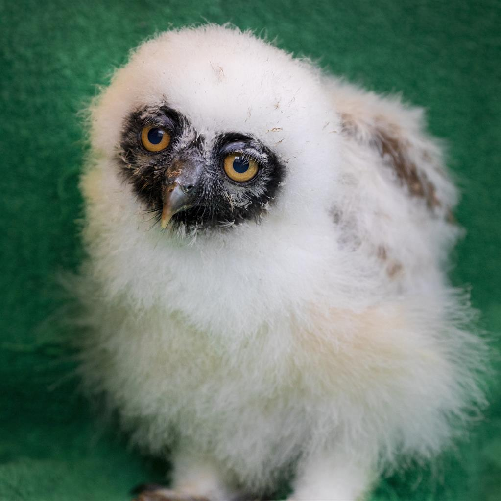 Wise up: The spectacled owl PICTURE: SWNS
