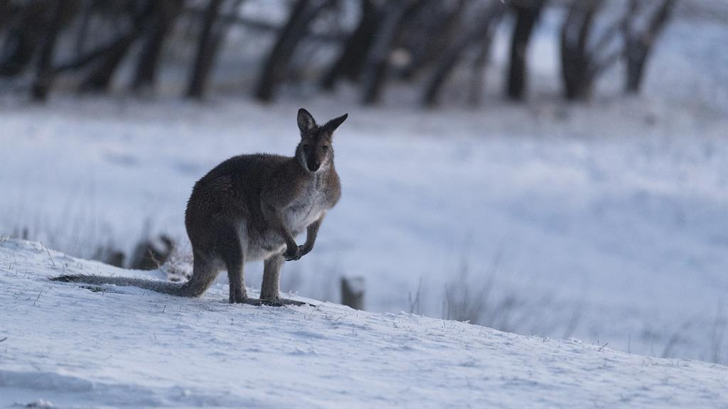 Woolly weather: A wallaby walks on a blanket of snow in the Snowy Mountains – while tourist  Barry Mckowski jumps right in (below) PICTURES: GETTY