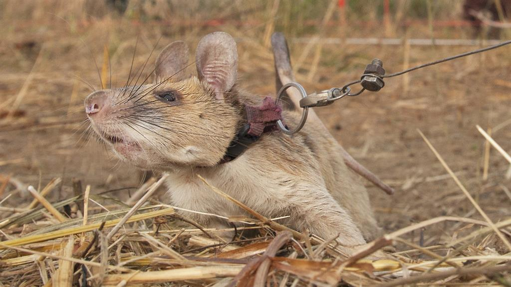 Rat Awarded Medal for Detecting Landmines in Cambodia