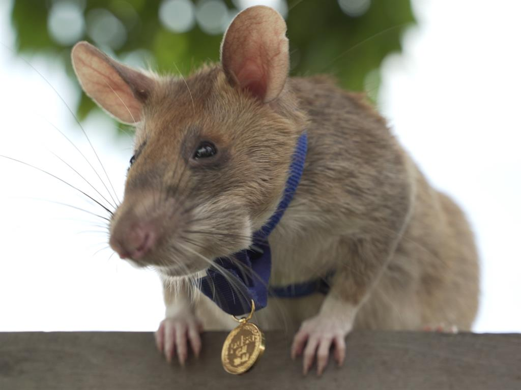 Giant rat earns animal hero award for sniffing out landmines in Cambodia