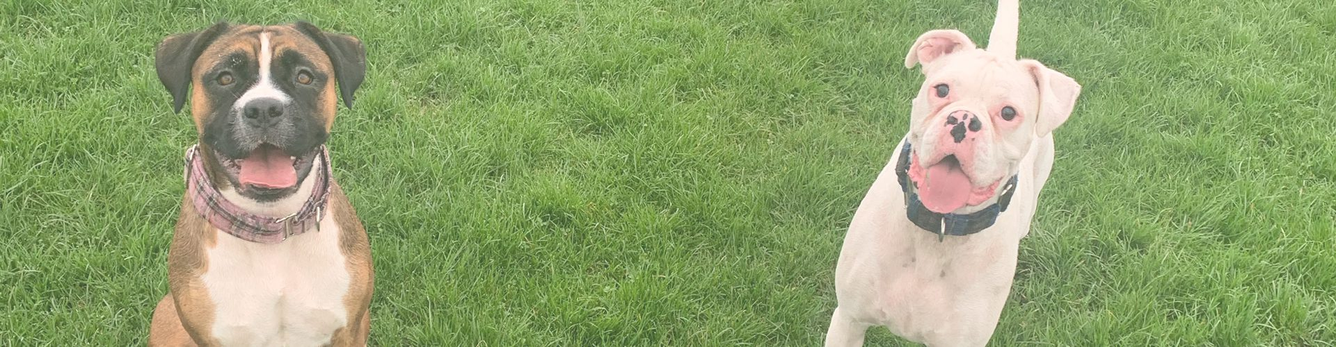 a brown boxer dog and wa white boxer dog on grass