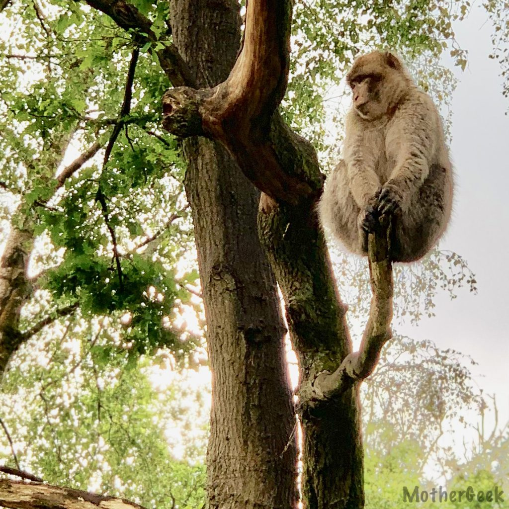 Monkey in a tree at Trentham Monkey Forest