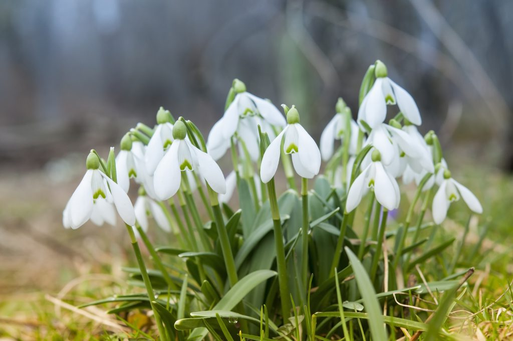 Snowdrop flowers in forest close up - How to make your garden bee friendly in winter