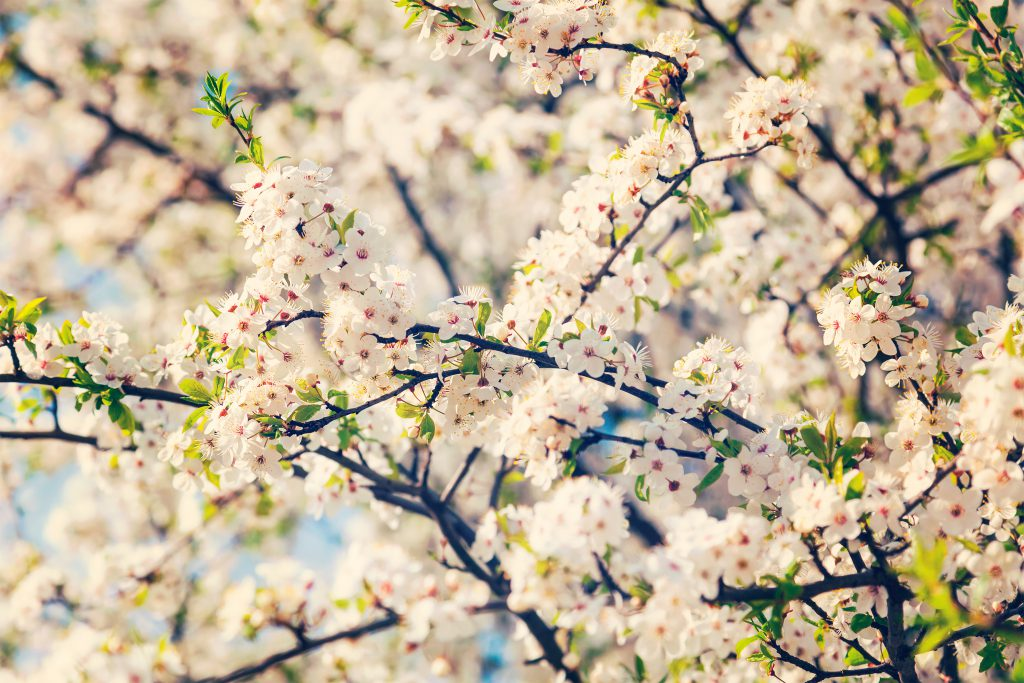 how to make your garden Bee friendly - apple tree blossoming in Spring