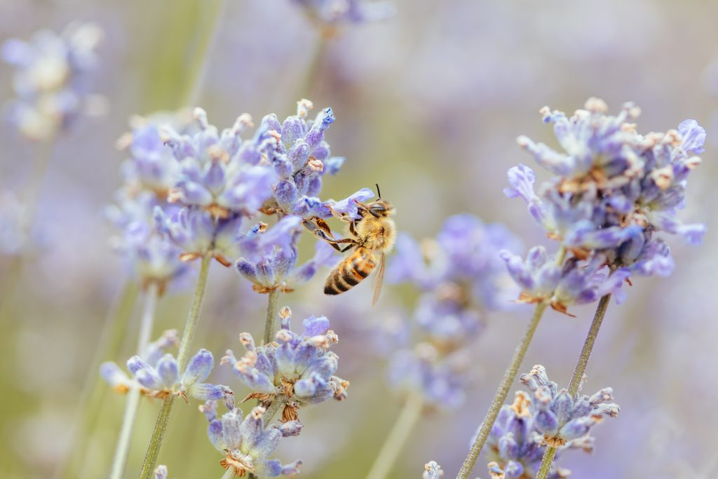 how to make your garden Bee friendly - Closeup shot of a bee collecting pollen from lavender on a summer's day in Victoria, Australia