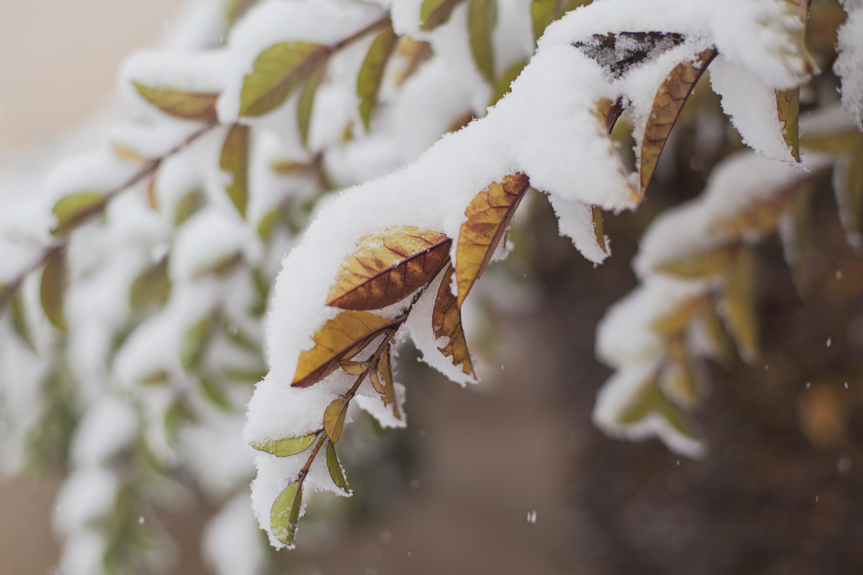 Snow on leaves
