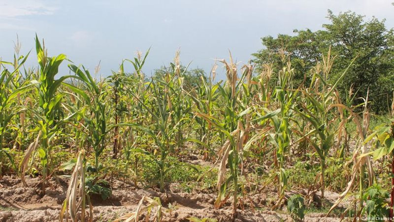 Zimbabwe's crop prediction has to be cut in half