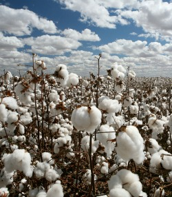 Cotton  output dips 59pc on poor rains