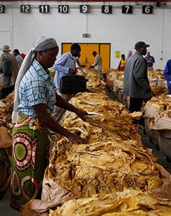 Prices firmer as tobacco actions start