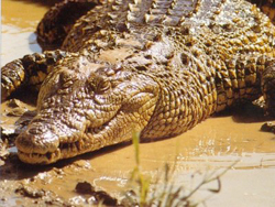 Zimbabwean  crocodile burgers on Milan Expo menu