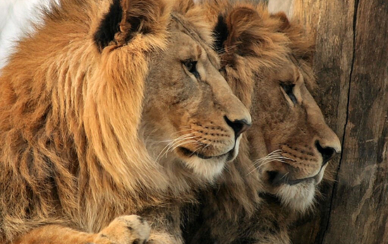 Cecil's killing causes tourism drop in Zimbabwe