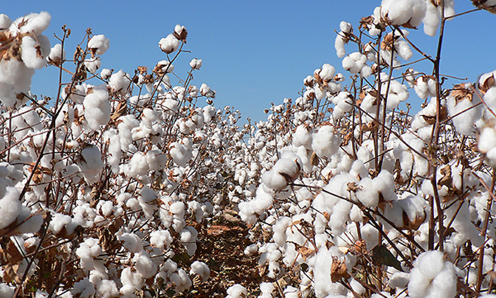 AMA stays clear of cotton pricing wars as season opens next week