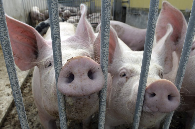 Pigs outnumber people in Denmark, No. 1 in Europe