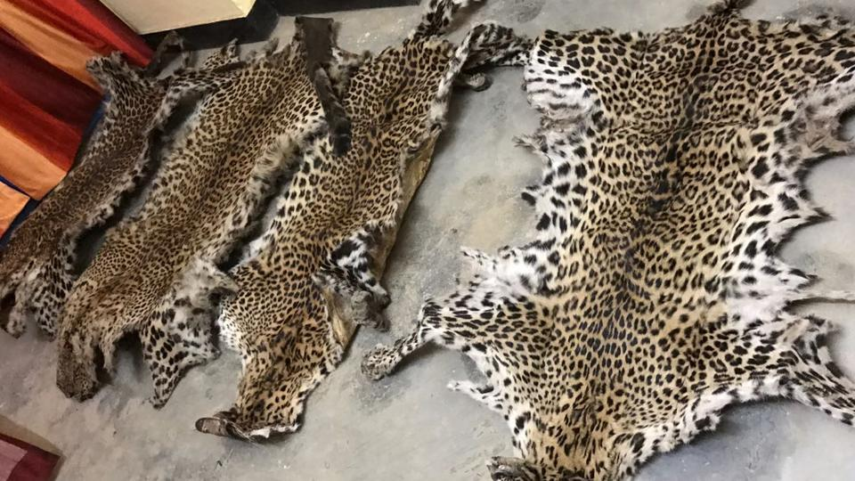 Siblings in trouble over after being found selling leopard skin worth $20,000