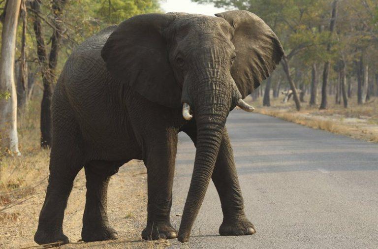Drought has killed 200 elephants – Zimparks