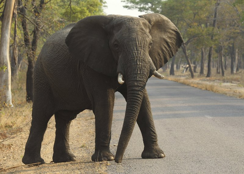 Vic Falls Rangers Gun Down Jumbo After It Gored Vagrant To Death