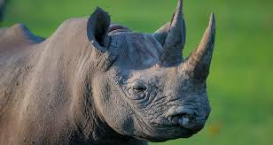 Another endangered black rhino dies after Kenya transfer