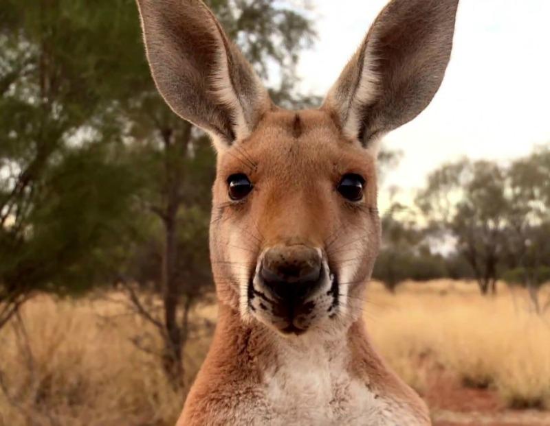Family stunned as kangaroo smashes through house window