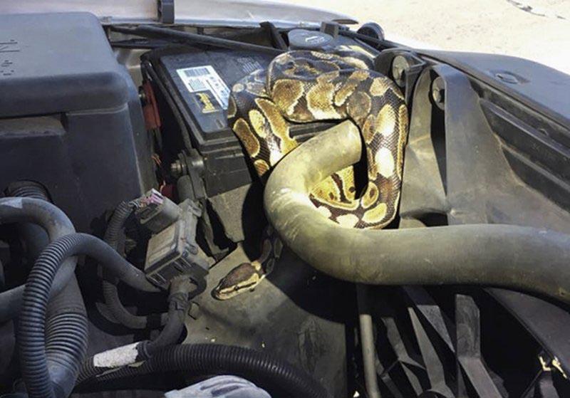 Man finds python under hood of SUV