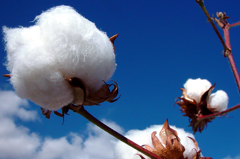 Presidential input support helps farmers double 2017 cotton yield