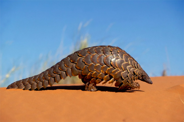 Zanu PF official jailed 9 years for illegal pangolin possession