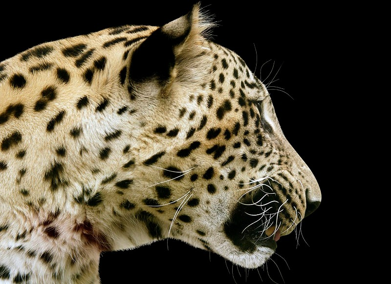 Court abandons proceedings after notorious armed robber demands leopard's head