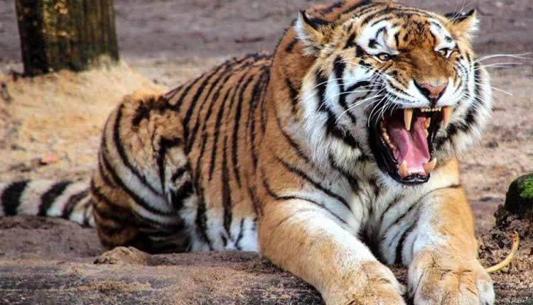 Villagers crush tigress to death after man is killed