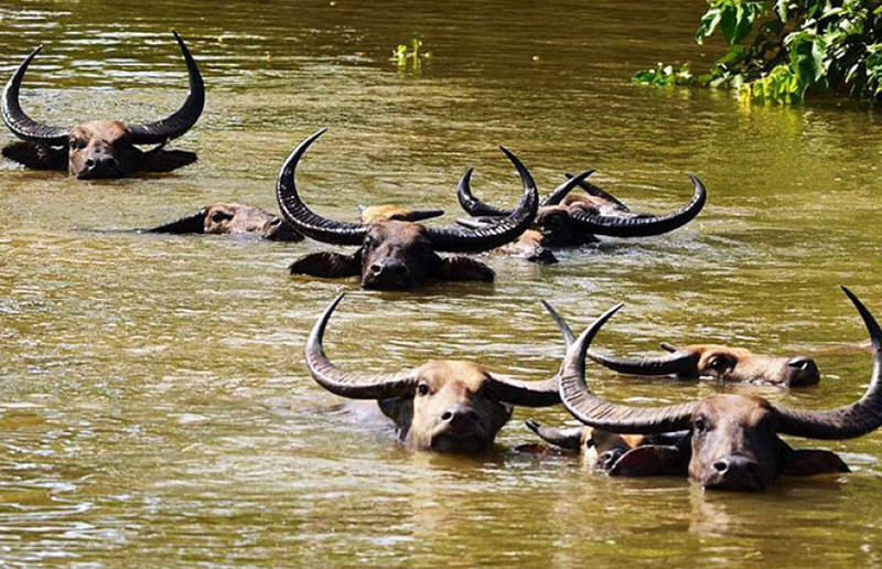 Lions suspected in drowning of 400 buffaloes in Botswana